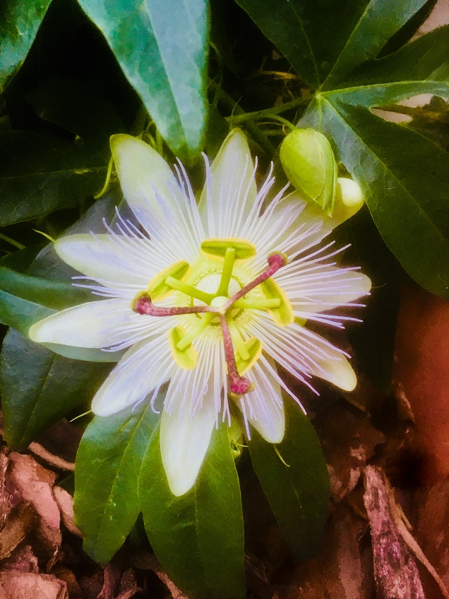 Café die deutSCHule; a passionflower blossom on the terrace